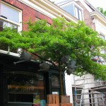 Konewki zawieszone na drzewie w rynku w Haarlem