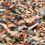 Muszelki na brzegu morza w Haarlem